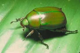 blue green scarab beetle