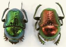 two shiny scarabs