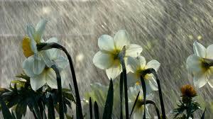 flowersinrain