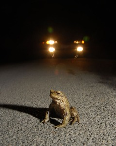 frog sitting in road