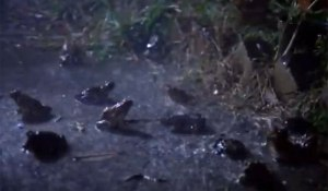 frogs in rain