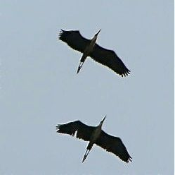 heron-fly-past